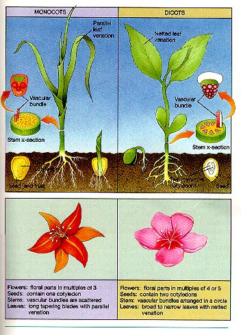 A diagram showcasing Monocots vs. Dicots