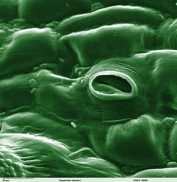 A microscopic view of a tomato plants stomata.